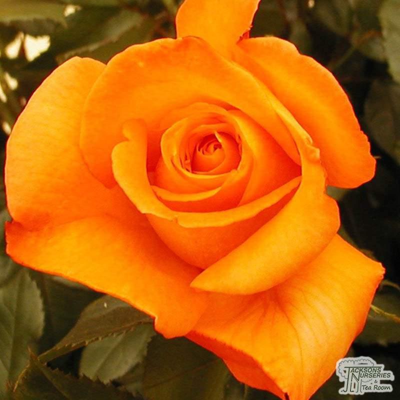 Buy Lover's Meeting (Hybrid Tea Rose) In The UK