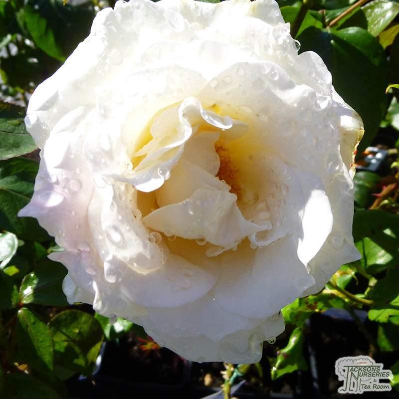 Buy Rosa Silver Wedding Hybrid Tea Rose In The Uk