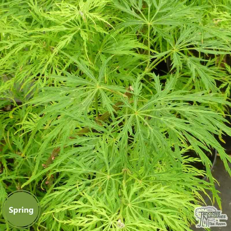Acer palmatum dissectum Viridis spring
