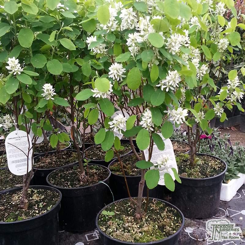 Buy Amelanchier Alnifolia Obelisk June Berry In The Uk