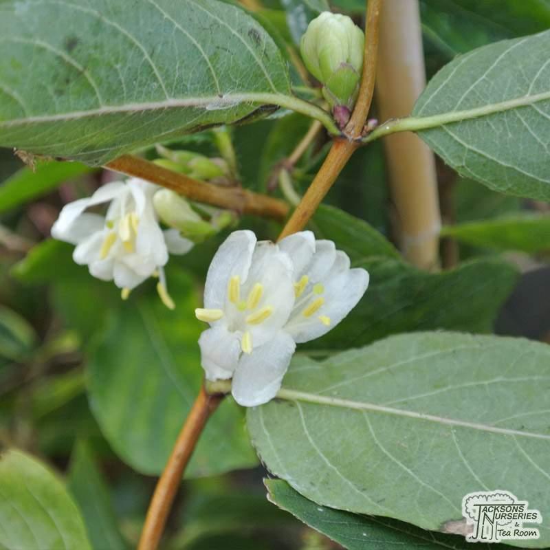 Buy Lonicera Fragrantissima Winter Honeysuckle In The Uk