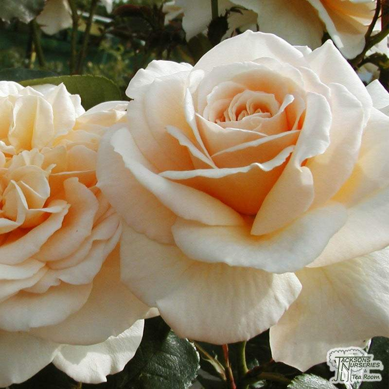 Buy Rosa Champagne Moment (Floribunda Rose) In The UK
