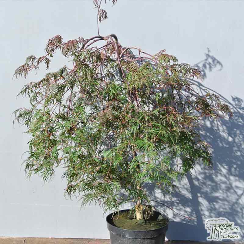 Buy Acer Palmatum Dissectum Orangeola Japanese Maple In The Uk