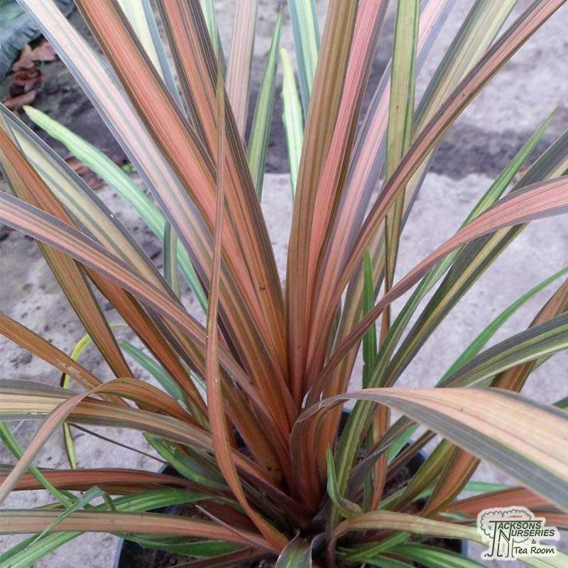 Buy Cordyline Cha Cha Cabbage Palm In The Uk