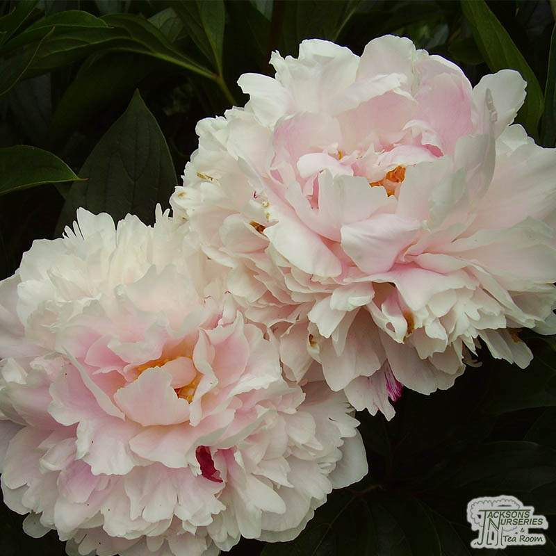 Buy Paeonia Shirley Temple Peony In The Uk