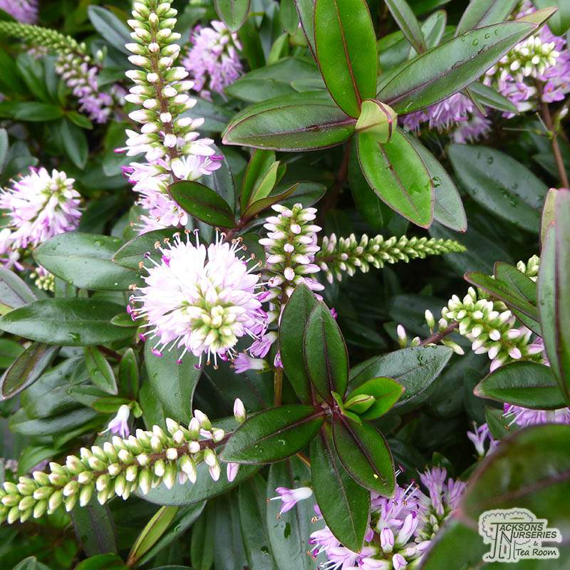 Buy Hebe Pink Candy Shrubby Veronica In The Uk