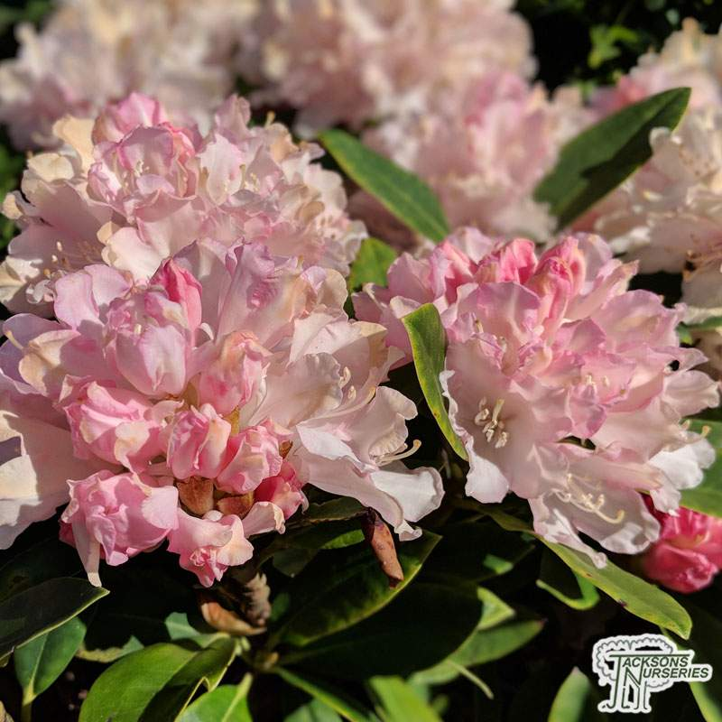 Buy Rhododendron Dreamland Yakushimanum Rhododendron In
