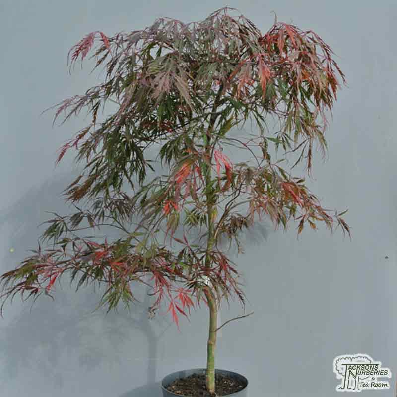 Buy Acer Palmatum Dissectum Tamukeyama Japanese Maple In The Uk
