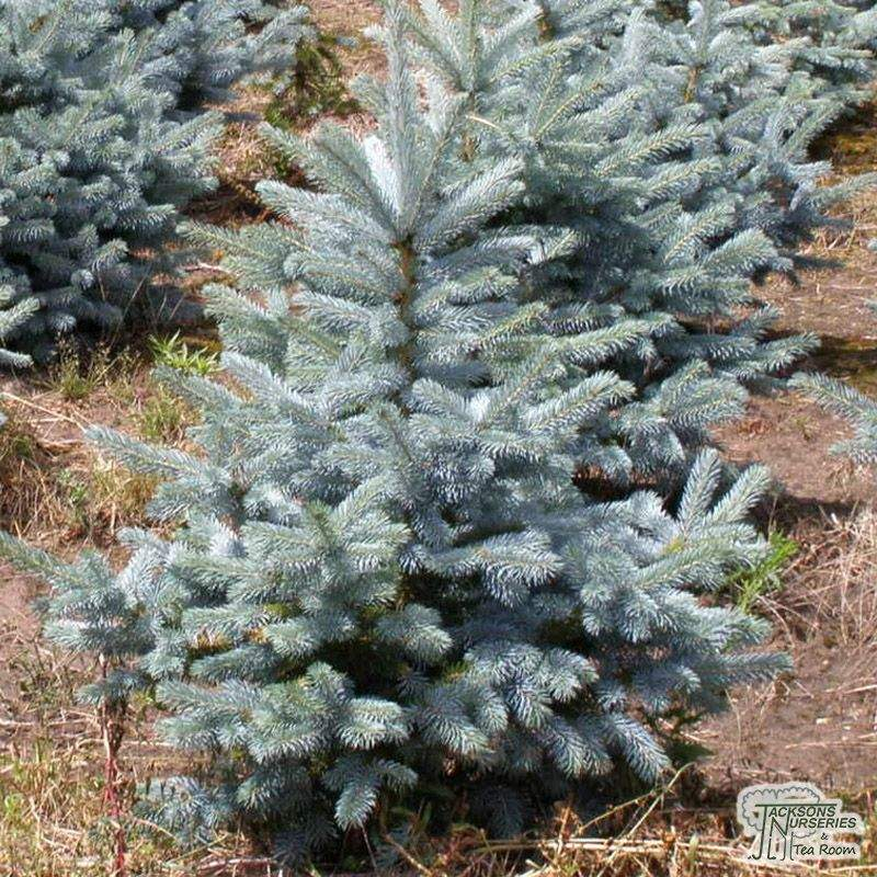 Buy Picea Pungens Blue Diamond Blue Spruce In The Uk