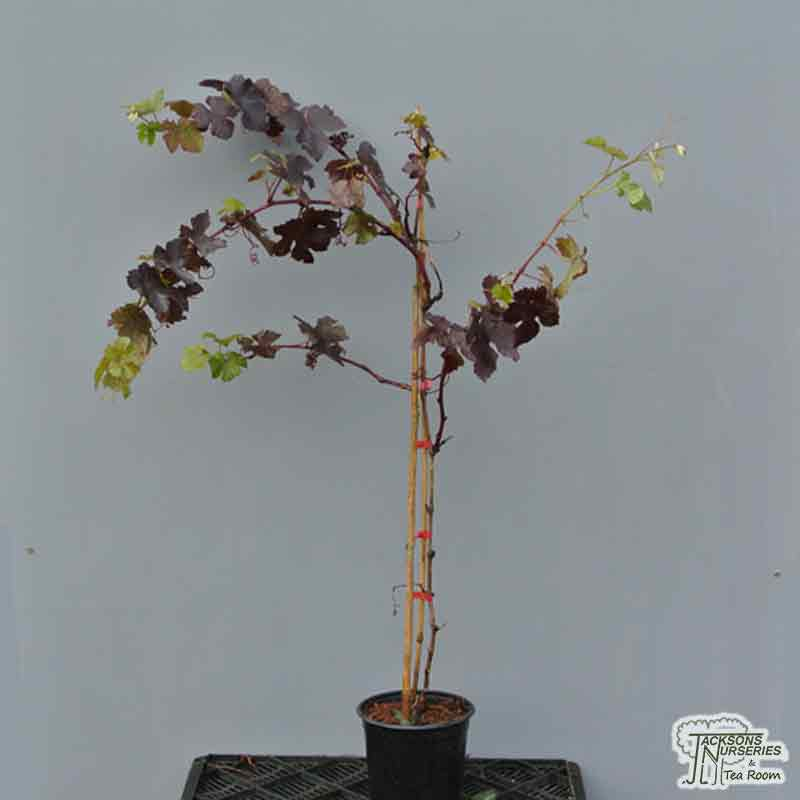 Buy Vitis Vinifera Purpurea Purple Grape Vine In The Uk