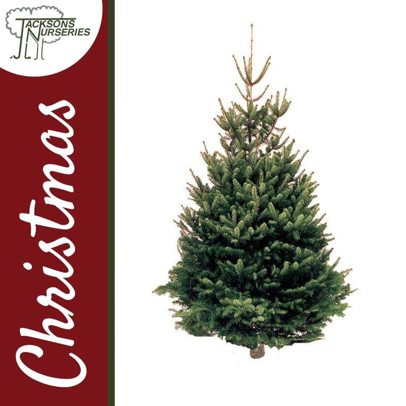 Christmas Tree Farms Victoria: Real Traditional Norway Spruce Christmas Tree
