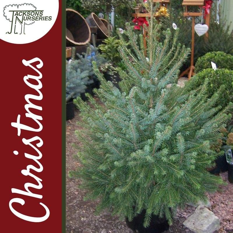 Christmas Tree Uk Online: Real Serbian Spruce Christmas Tree (2ft