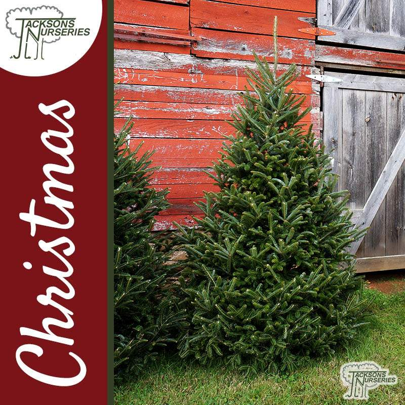 Costco Online Christmas Trees: Real Fraser Fir Christmas Tree