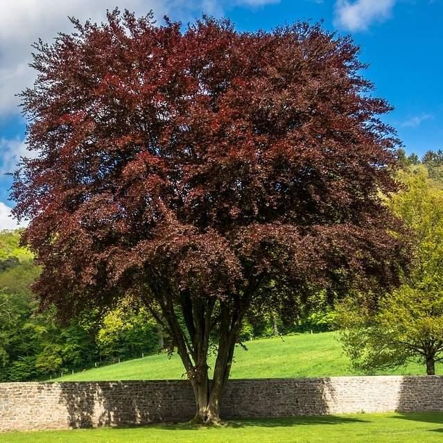 Buy Purple Beech Bare Root Hedging Fagus Sylvatica