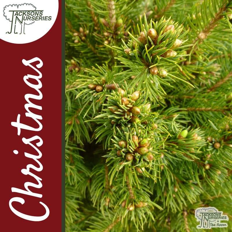 Alberta White Spruce Christmas tree
