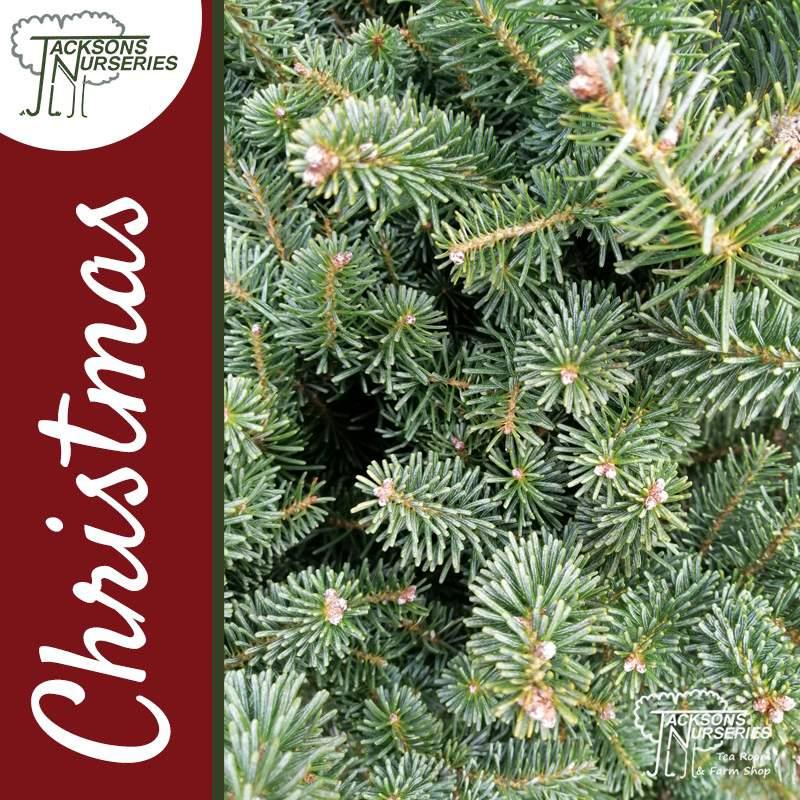 Korean Silver Fir Christmas tree