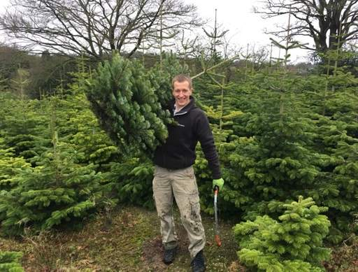 Carrying cut Christmas tree out of field