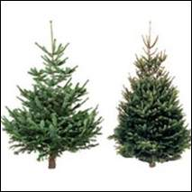 Types Of Christmas Trees.Different Types Of Real Christmas Tree