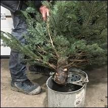 How to keep your Christmas tree looking fresh