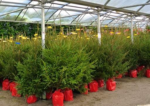 Norway Spruce trees on garden centre
