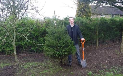 Rootballed Norway Spruce tree outdoors