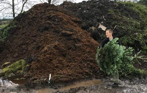 Throwing Christmas tree on compost heap