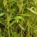 Buy Bamboo Online