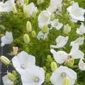 Buy Groundcover Plants Online