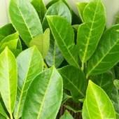 Buy Hedging Plants Online