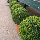 Buy Topiary Online