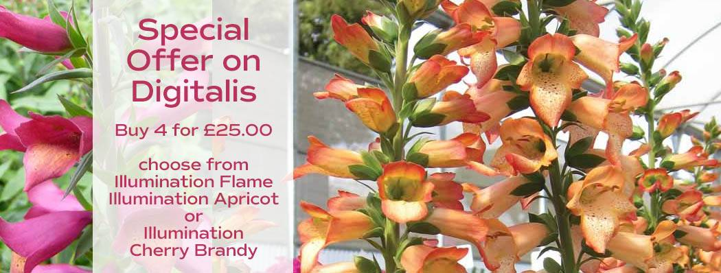 Special Offer on Digitalis