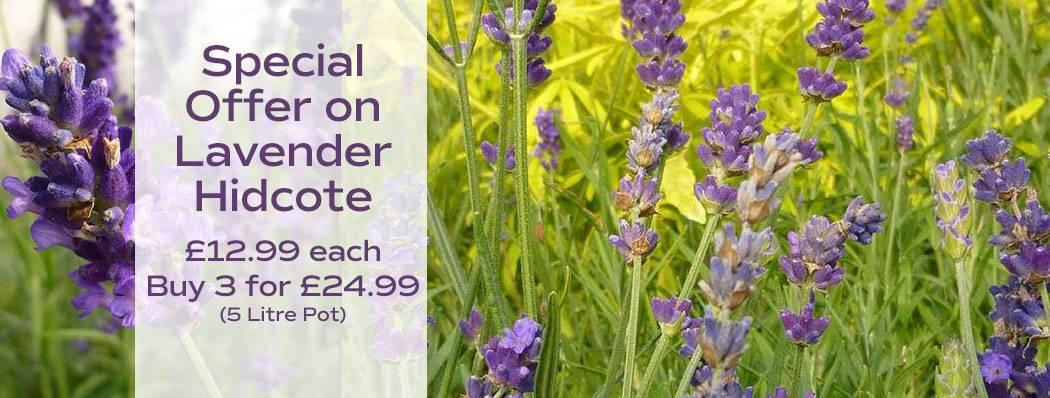Special Offer on Lavender
