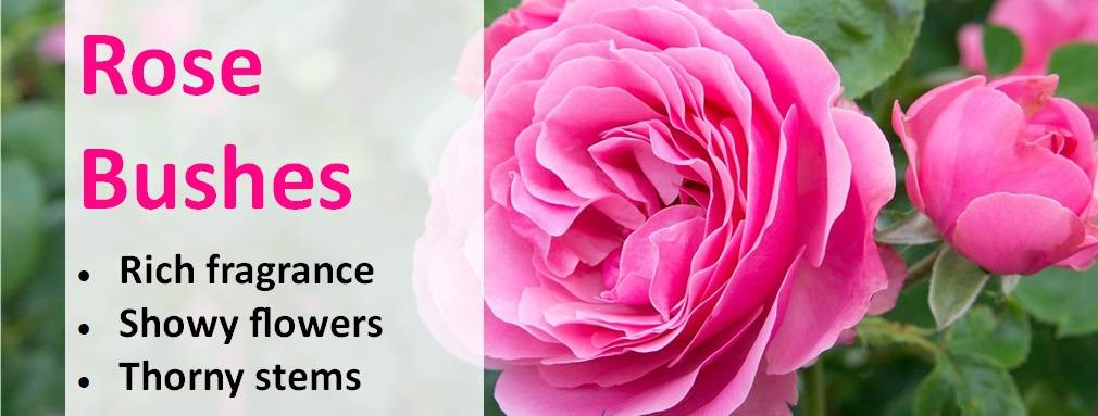 Rose Bushes Feb-21
