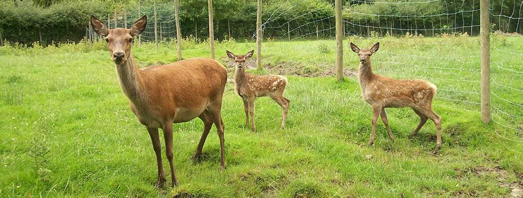 Staffordshire Garden Centre - Deer