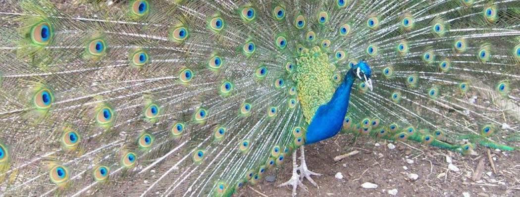 Staffordshire Garden Centre - Peacocks