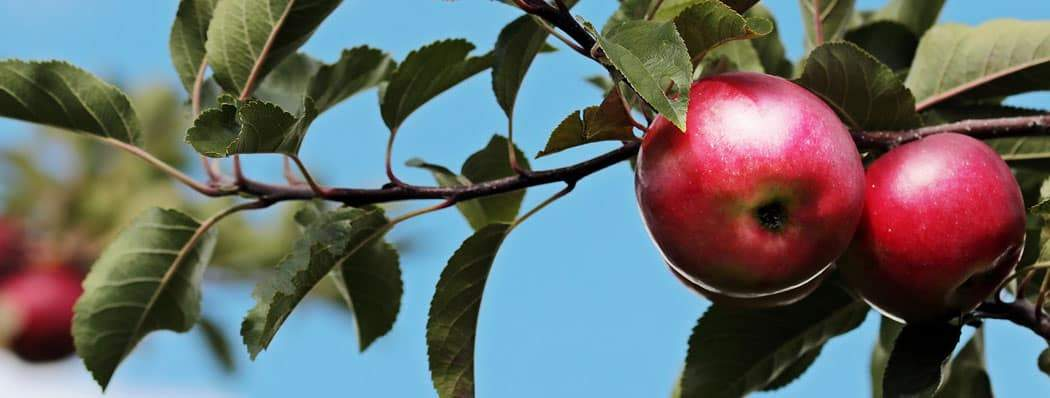Shop Fruit Trees &Bushes Now