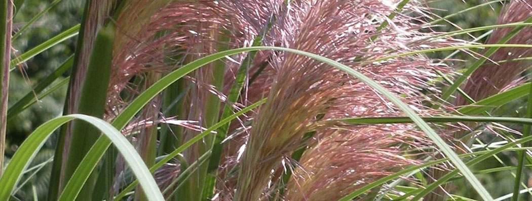 Shop Grasses now