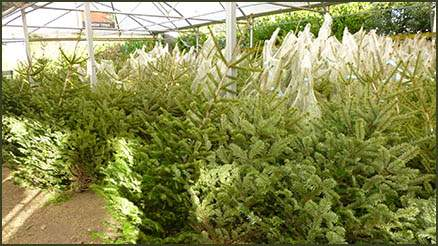 Christmas trees under canopy