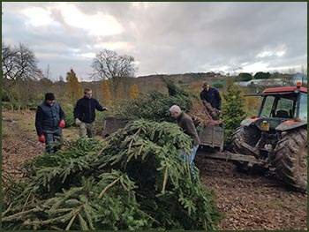 Pulling Christmas trees from nursery