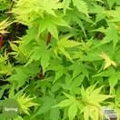 Buy Acer palmatum Sango-Kaku (Japanese Maple) online from Jacksons Nurseries