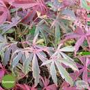 Buy Acer palmatum Shirazz (Japanese Maple) online from Jacksons Nurseries