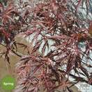 Buy Acer palmatum dissectum Tamuke yama (Japanese Maple) online from Jacksons Nurseries