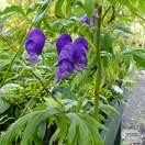 Buy Aconitum carmichaelii arendsii (Monkshood) online from Jacksons Nurseries