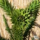 Buy Araucaria araucana (Monkey Puzzle Tree) online from Jacksons Nurseries