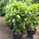 Buy Aucuba japonica Crotonifolia (Spotted Laurel) online from Jacksons Nurseries