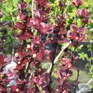 Buy Berberis thunbergii f. atropurpurea Helmond Pillar (Barberry) online from Jacksons Nurseries
