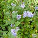 Buy Ceanothus Autumnal Blue online from Jacksons Nurseries