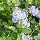 Buy Ceanothus thyrsiflorus var. repens (Creeping Blueblossom) online from Jacksons Nurseries.