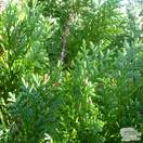 Buy Chamaecyparis lawsoniana Alumii online from Jacksons Nurseries