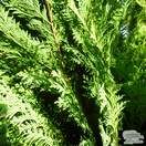Buy Chamaecyparis lawsoniana Erecta Viridis online from Jacksons Nurseries